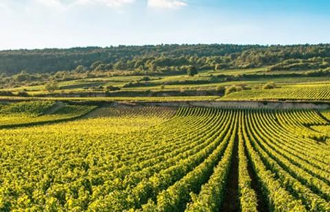 Burgundy vineyard