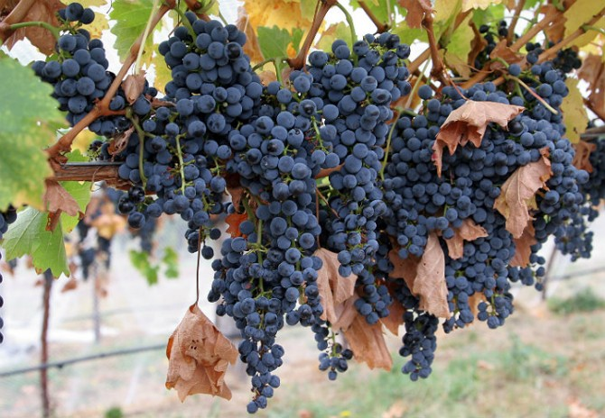 syrah-grapes-670x464