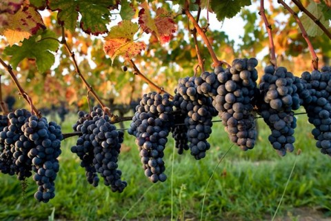 vignoble-raisin-rouge_site_pointfort
